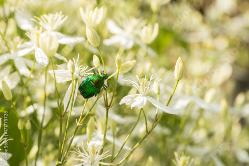 A Large green beetle on the Decorative bush with white flowers on sunset. Clematis.