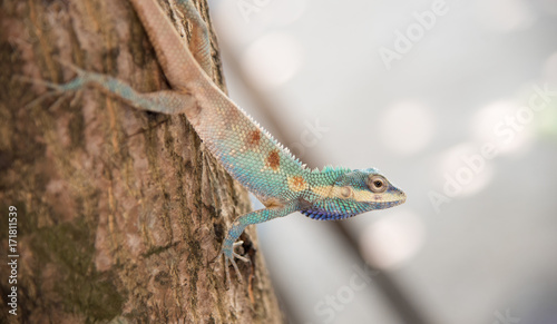 Fotobehang Kameleon image of macro blue chameleon on the tree , Natural color change