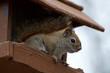 Red Squirrel in a Bird Feeder Closeup