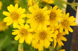 Arnica sachalinensis many yellow flowers with green - 171837375
