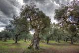 Bosco di olivi