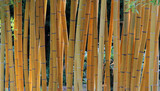 Bambous jaune