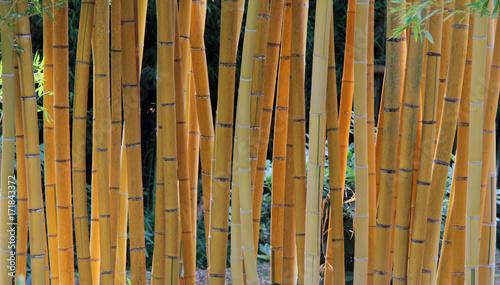 Foto Murales Bambous jaune