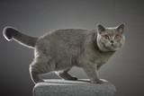 Britisch Kurzhaar Katze Porträt