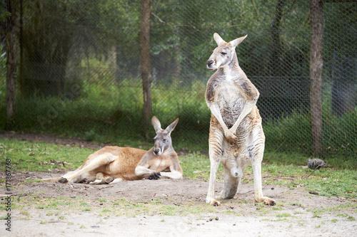 Aluminium Kangoeroe Kangaroo