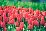 Selective focus on beautiful red tulips at Keukenhof garden from Netherlands