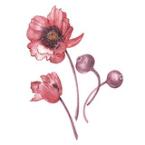 Illustration in watercolor of Poppies flower. Floral card with flowers. Botanical illustration. - 171868389