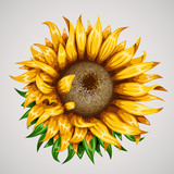 Realistic beautiful sunflower. Yellow flower. Summer concept.