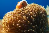 Pink anemonefish - rybka nemo - morze filipińskie