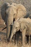 animali parco kruger sud africa elefante