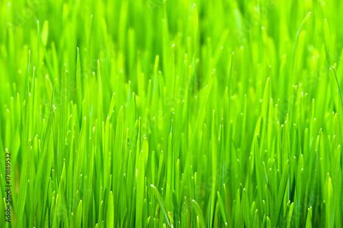 Wheat grass - 171889532