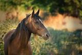 Portrait of a dark horse in summer outdoor - 171890558