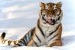 Winter Tiger