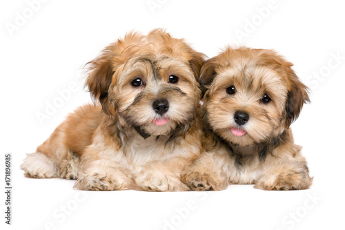Two cute havanese puppies are lying and looking at camera Poster