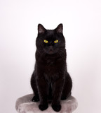 Black Cat Black cat with yellow eyes isolated on white