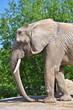 Elephant in Toronto Zoo