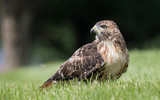 Red Tailed Hawk - 171908194