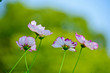 Beautifully blooming cosmos flowers in the autumn field. - 171911188