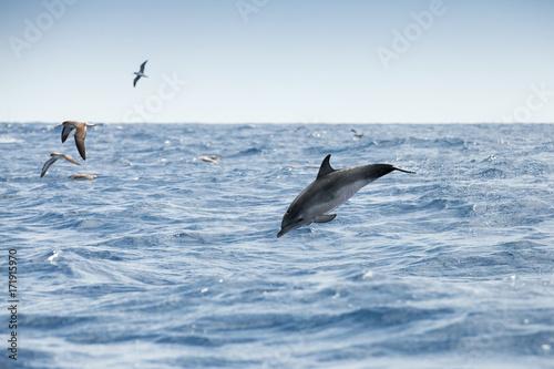 Fotobehang Dolfijn Sea gulls and Common Dolphin