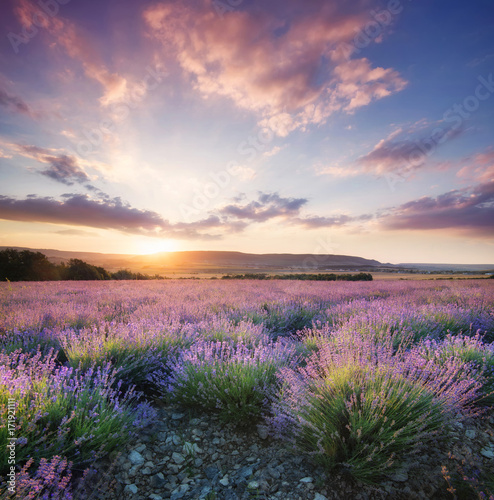 Fototapeta  Lavender in the mountain valley during sunset. Beautiful natural landscape in the summer time
