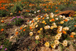 Colorful Namaqualand daisies (Dimorphotheca pluvialis), South Africa.
