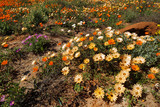 Colorful Namaqualand daisies (Dimorphotheca pluvialis), South Africa. - 171927584