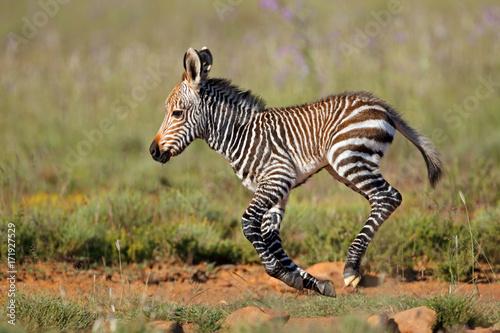 Cape mountain zebra (Equus zebra) foal running, Mountain Zebra National Park, South Africa.