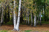 Birchwood in the park