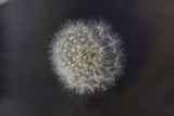 one white dandelion flower