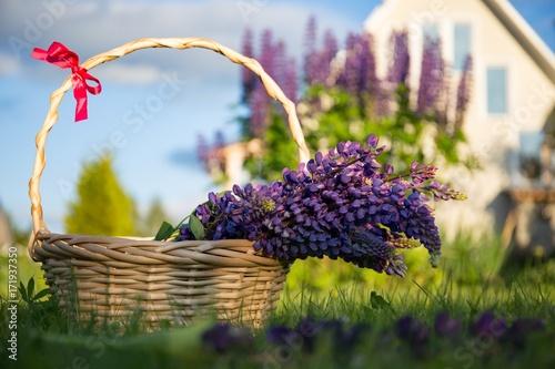 Mor renkli acı bakla çiçeği Poster
