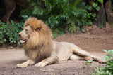 lion male relaxes and lies on the ground