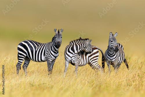 Fototapeta Zebra in the grass nature habitat, National Park of Kenya