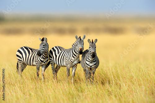 Zebra in the grass nature habitat, National Park of Kenya Poster