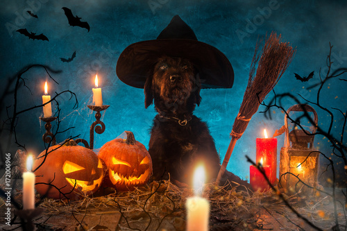 Black dog with Halloween pumpkins on wooden planks.
