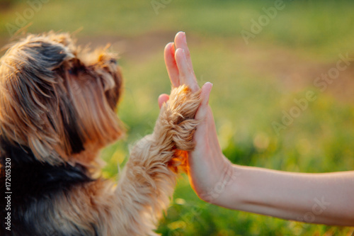 fototapeta na ścianę Yorkshire terrier gives paw his owner closeup with human hand