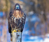 Golden Eagle - 172035778