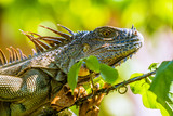 Leguan aus Costa Rica