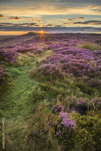 Wall mural Stunning dawn sunrise landscape image of heather on Higger Tor in Summer in Peak District England