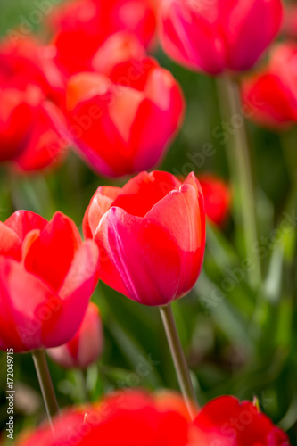 Tuinposter Rood Beautiful red tulips in nature
