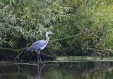 bird heron (Ardea herodias) - 172058184