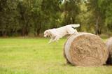 Beauty Golden retriever dog