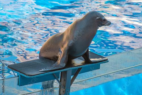 Aluminium Lion Performance with a fur seal in the aquarium.
