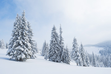 Spruce forest in the snow