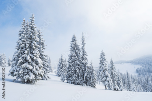 Foto Murales Spruce forest in the snow