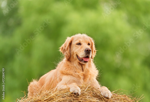 Beauty Golden Retriever dog on the hay bale Poster