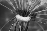 close up dandelion black and white