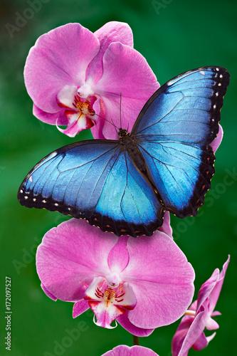 Błękitny Morpho motyl lub różowy storczykowy kwiat