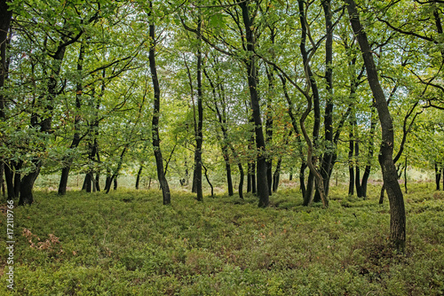 Wall mural Tree trunks in forest with ground covered with scrub.