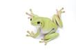 Dumpy frog on  white background