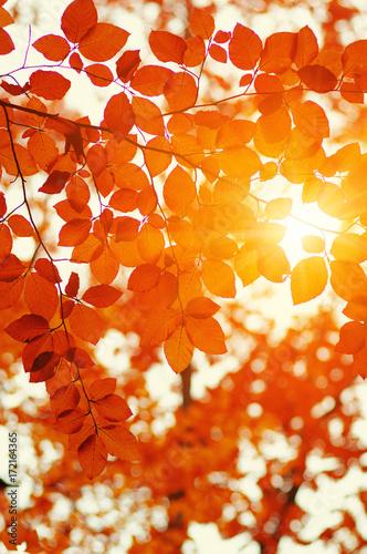 Autumn leaves on sun - 172164365